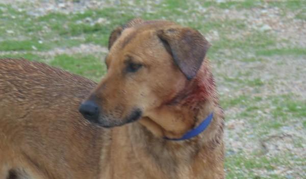 Άνω Λιόσια, Άγιος Νικόλαος, συνοικία, σφαίρες, σκυλιά, όπλο, τραυματισμένα, ΔΙΚΕΠΑΖ, μήνυση