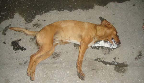 φόλα, σκυλί, δηλητήριο