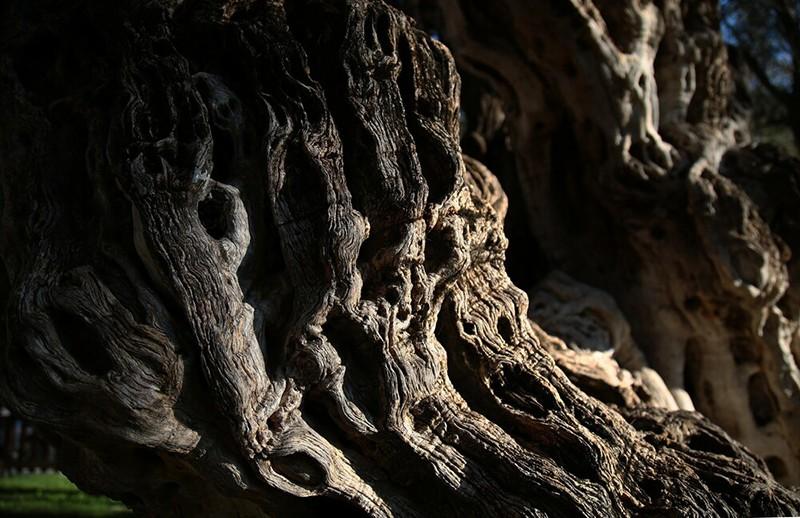 Η Ελιά του Πεισίστρατου στους Αγίους Αναργύρους: Ένα δέντρο ηλικίας 2.500 ετών